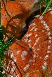bambi-in-the-grass