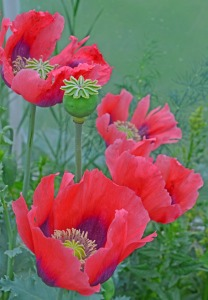 poppy-grouping-with-grasses