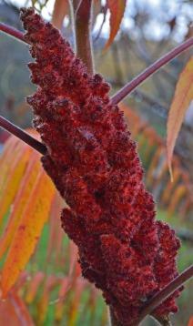 sumac berries 120