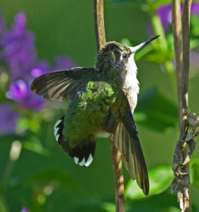 Hummingbird resting